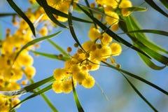 Blühen von Mimosenbaum Akazie pycnantha, Abschluss des goldenen Zweigs oben im Frühjahr, helle gelbe Blumen, coojong Stockbild