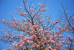 Blühen von tabebuia Stockfotos