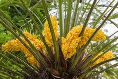 Blühen von Trachycarpus Gelbe Blumen der Windmühlenpalme Lizenzfreie Stockfotos