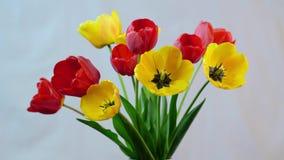 Blühen von Tulpen stock footage