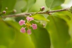 Blühende Acerolakirschbäume in Thailand Acerolakirsche-bloss Lizenzfreie Stockfotos