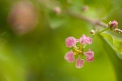 Blühende Acerolakirschbäume in Thailand Acerolakirsche-bloss Lizenzfreies Stockfoto