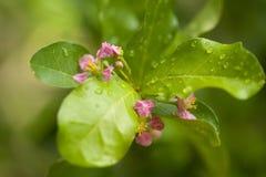 Blühende Acerolakirschbäume in Thailand Acerolakirsche-bloss Lizenzfreie Stockfotografie
