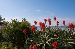 Blühende Aloe auf einem Hintergrund von blauem Meer und von Himmel Stockfoto