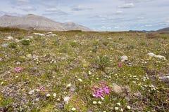 Blühende alpine Tundrawiese Wildflowers Lizenzfreie Stockbilder
