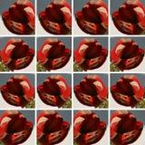 Blühende Amaryllis-Blume innerhalb der quadratischen Formen Stockfotografie