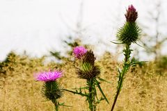 Blühende Anlage der stacheligen Weg-Distel auf Herbstwiese Fallwiese mit Carduus acanthoides Blumen schließen oben Lizenzfreies Stockfoto