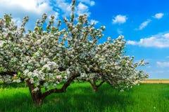 Blühende Apfelbäume Stockfotos