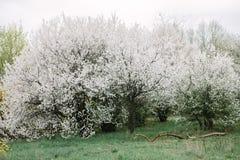 Blühende Apfelbäume Bushs mit jungen Blättern im Frühjahr lizenzfreie stockfotos