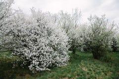 Blühende Apfelbäume Bushs mit jungen Blättern im Frühjahr stockbilder