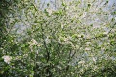 Blühende Apfelbäume Bushs mit jungen Blättern im Frühjahr lizenzfreie stockbilder