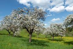 Blühende Apfelbäume in einem Obstgarten Stockfotografie