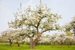 Blühende Apfelbäume in Holland Lizenzfreie Stockfotos