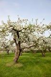 Blühende Apfelbäume in Holland Lizenzfreies Stockbild