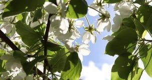 Blühende Apfelbäume im Frühjahr Schöne weiße und rosa Blumen von Apfelbäumen auf einem Hintergrund des grünen und blauen Himmels stock footage