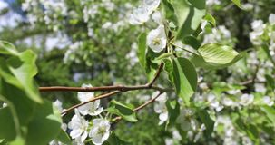Blühende Apfelbäume im Frühjahr Schöne weiße und rosa Blumen von Apfelbäumen auf einem Hintergrund des grünen und blauen Himmels stock video