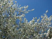 Blühende Apfelbäume im Mai stockfotos