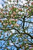 Blühende Apfelbaumtapete/-hintergrund Stockbild