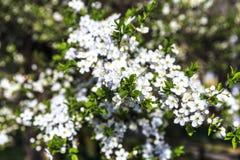 Blühende Apfelblüte im Mai Stockfotos
