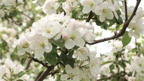 Blühende Apfelnahaufnahme Blumen rütteln im Wind stock footage