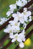 Blühende Apple-Blumen auf einer Niederlassungsnahaufnahme lizenzfreies stockfoto