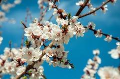 Blühende Aprikose Lizenzfreie Stockfotos