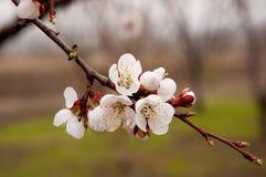 Blühende Aprikose Stockfotografie
