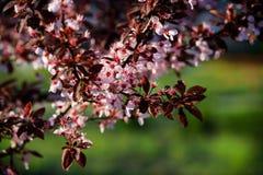 Blühende Aprikose Stockbild