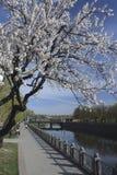 Blühende Aprikose auf der Ufergegend im Frühjahr Stockbild