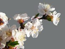 Blühende Aprikose verzweigen sich in Sonnenschein auf grauem Hintergrund Lizenzfreie Stockfotos