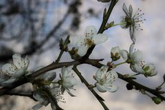Blühende Aprikosen Lizenzfreies Stockfoto
