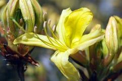 Blühende Azaleeblume Stockbilder