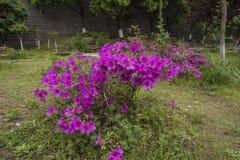 Blühende Azaleen stockbilder