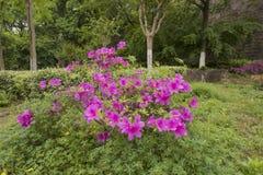 Blühende Azaleen lizenzfreie stockfotografie