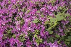 Blühende Azaleen stockfotos