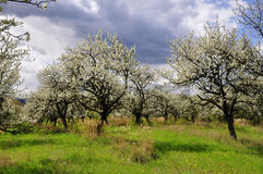 Blühende Bäume Stockfotos