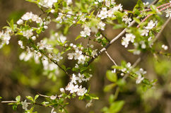 Blühende Bäume Lizenzfreie Stockbilder