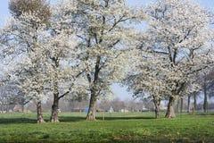 Blühende Bäume in den Niederlanden Lizenzfreie Stockbilder