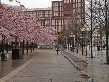 Blühende Bäume in der Mitte von Stockholm im Vorfrühling Stockfoto