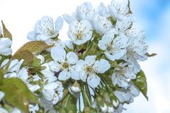 Blühende Bäume des Frühlinges Stockfotos