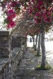 Blühende Bäume des Frühlinges auf alter Gasse stockbild