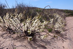 Blühende Büsche in Block-Insel Stockfoto