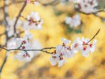 Blühende Baumaste mit weißen Blumen Altes gelbes Papier auf dunklem Hintergrund Frühjahr in Ukraine Weiße scharfe und defocused B stockfotografie