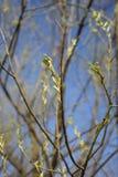 Blühende Baumknospe Stockfoto