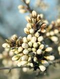 Blühende Baumknospen Stockfoto