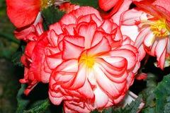 Blühende Begonien auf einem Garten lizenzfreie stockbilder