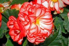 Blühende Begonien auf einem Garten stockbild