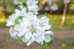 Blühende Birne stockfotos