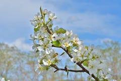 Blühende Birne 16 Lizenzfreies Stockfoto