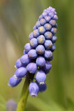 Blühende blaue Blume Lizenzfreies Stockfoto